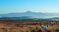 Mulranny Sheep
