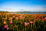 Mulranny's Rare Machair Plain